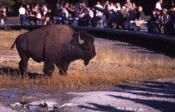 Bison at Old Faithful Geyser Photo