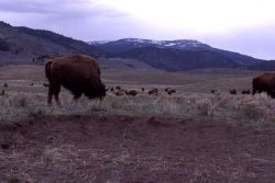 Bison wallow at Little America Flats Photo