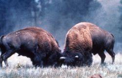 Bull bison fighting Photo