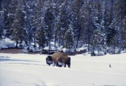 Bison in snow at Norris Junction Photo