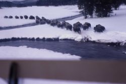 Bison drive in snow at Upper Nez Perce Creek Photo