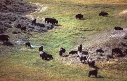 Bison herd Photo