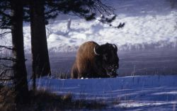 Bison in snow Photo