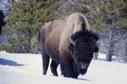 Bison in snow in Upper Geyser Basin Photo