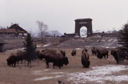 Bison in Arch Park, Gardiner, Montana Photo