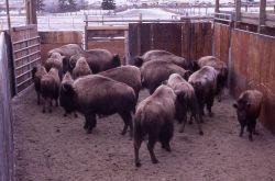 Bison in pen at Stephens Creek Photo