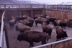 Bison in pen at Stephens Creek Photo