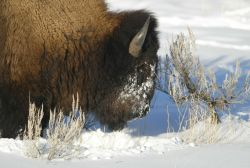Close up of bull bison in Lamar Canyon Photo