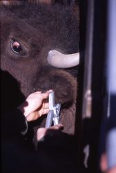 Ear tagging bison Photo