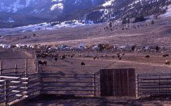 Holding pen for bison to be released in the spring in Yellowstone National Park - Stephens Creek Photo
