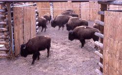 Stephens Creek bison pens Photo