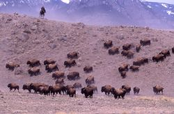 Kevin Dooley with bison moving downhill near north entrance Photo