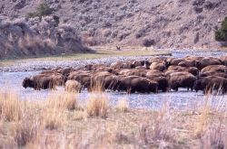 Bison crossing Gardner River at Chinese Garden Photo
