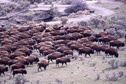 Bison at Boiling River Photo
