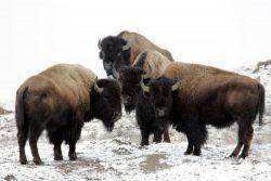Bison near Soda Butte Creek Photo