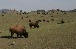 Bison herd - Little America Flats Photo
