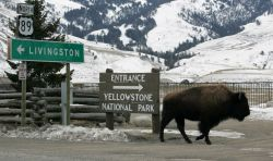 Bison next to road signs in Gardiner, MT Photo