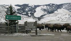 Bison in Gardiner, MT Photo