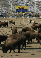 Bison on Gardiner, MT. school football field Photo