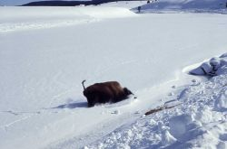 Bison on ice which gives way Photo