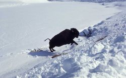 Bison on ice after breaking through Photo