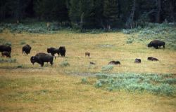 Bison with young in meadow Photo