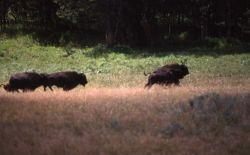 Bison running Photo