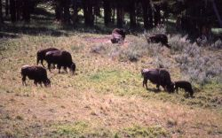 Small group of bison Photo