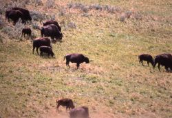 Bison with young Photo