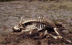 Bison skeleton Photo