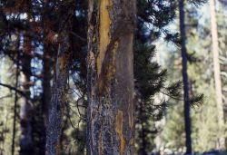 Bison rubbed tree Photo