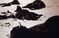 Copy of photo of dead bison in field, gun resting on carcass Photo