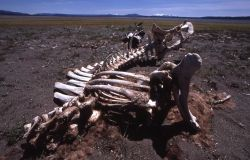 Bison carcass near shore of Yellowstone Lake Photo