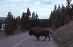 Bison crossing road Photo