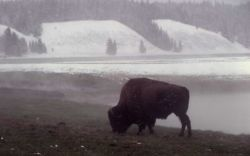 Bison near Mary Bay Photo