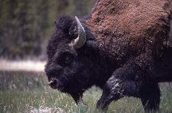 Close up of bison at Fountain Flats Photo