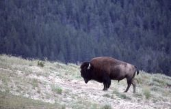 Bison in Hayden Valley Photo