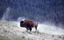 Bison wallowing Photo