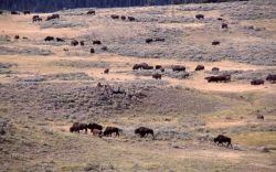 Bison herd in Hayden Valley Photo