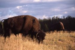 Bison in Upper Geyser Basin Photo