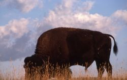 Bison in Upper Geyser Basin against sky Photo