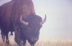 Bison in mist Photo
