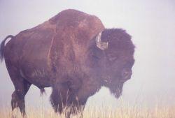 Bison in mist Photo
