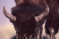 Close up of bison grazing Photo