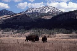 Bison near Soda Butte Photo