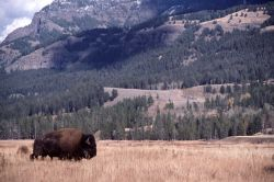 Bison near Soda Butte Photo