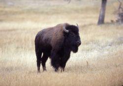 Bison standing Photo