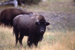 Bison standing Photo