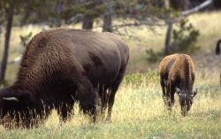 Bison with late calf Photo