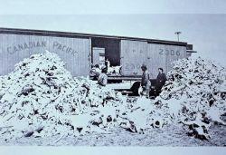 Photographer of bison bones Photo